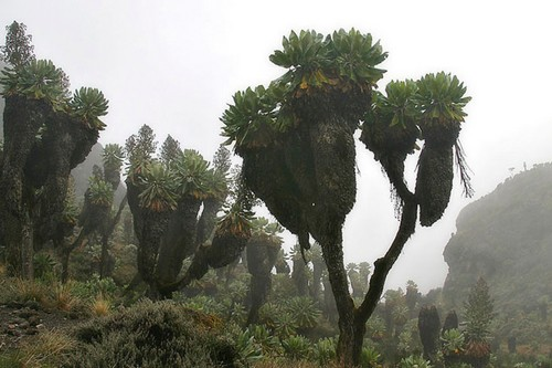 The Giant Senecio Tree