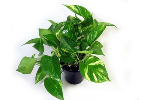 Golden Pothos Air Purifying Indoor Plants