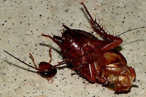 Headless cockroaches