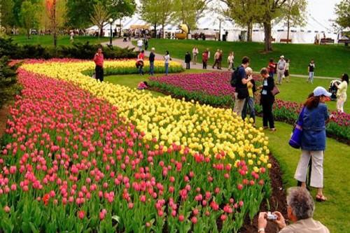Canadian Tulip Flower Festivals