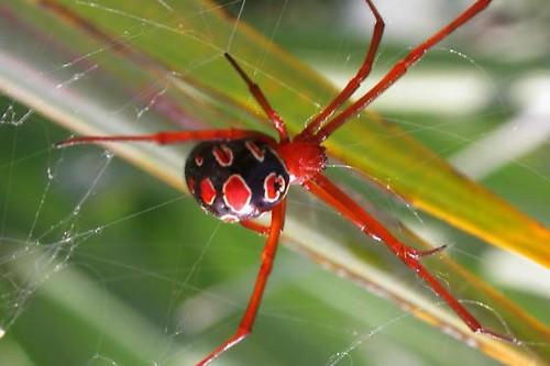 Red-Legged Widow Spider