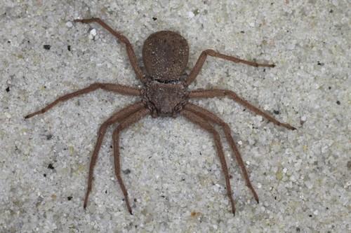Six-eyed Sand Spider