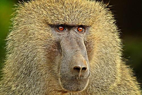 Baboons Smartest Animals
