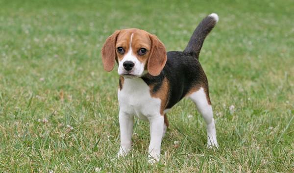 Adorable English Dogs Beagle