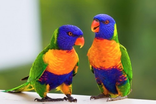 Beautiful Small Pets Parrots