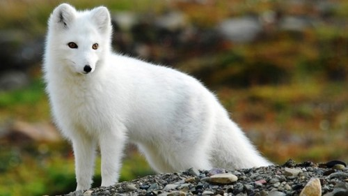 Arctic Foxes Cute Animal