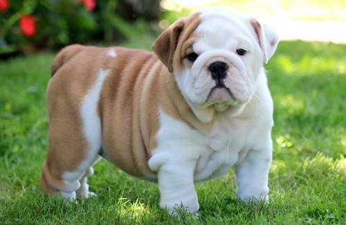 English Bulldog Breed, Puppy