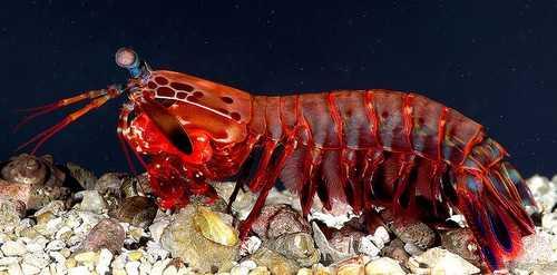 Mantis Shrimp - (Supervision)