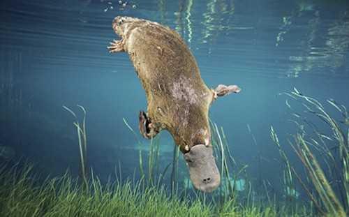 The Platypus - (Electro-location)
