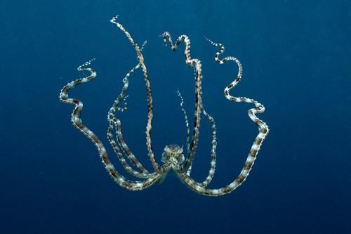 The Shape-Shifting Mimic Octopus