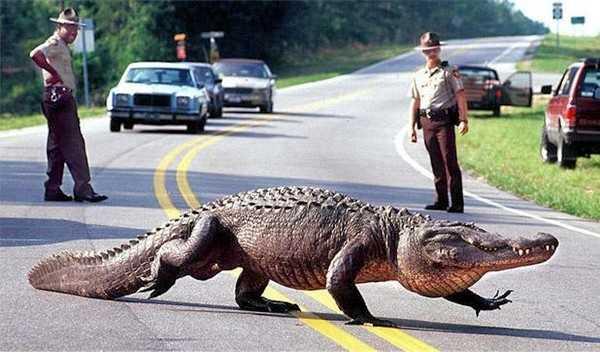 Alligator Dangerous Legal Exotic Pets