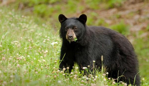 Bears in the Yosemite National Park