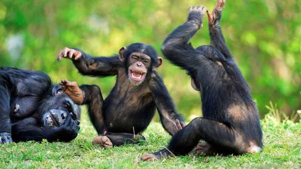 Chimpanzees Dangerous yet Legal Pets