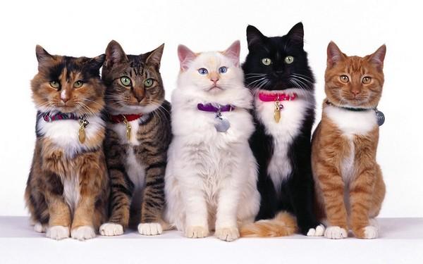 cat popular pets in America