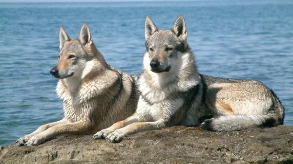 Pure Czech wolfdogs
