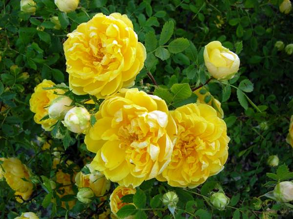 Top 10 Most Beautiful Rose Flowers
