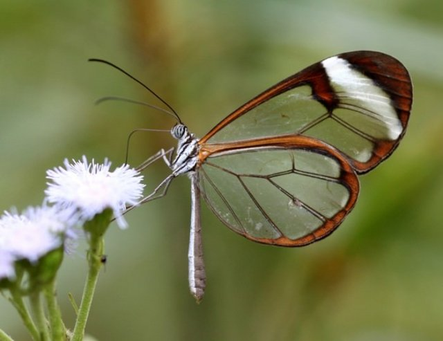 transparent butterfly