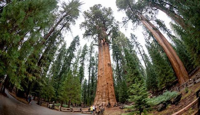 General Sherman unusual and strange trees
