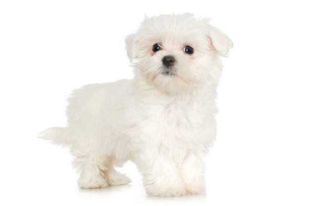 Maltese Smallest Dog Breeds