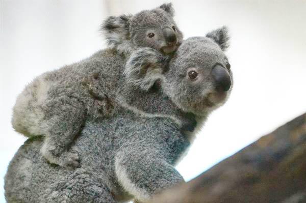 Koala moms