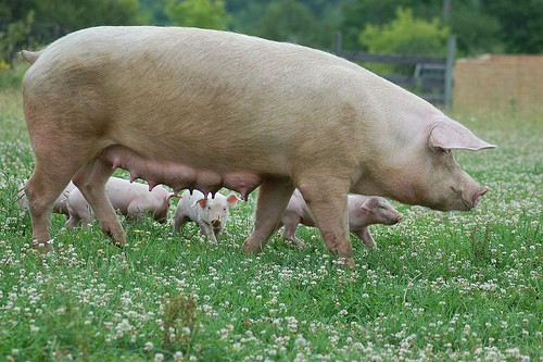 Singing Pig Mom
