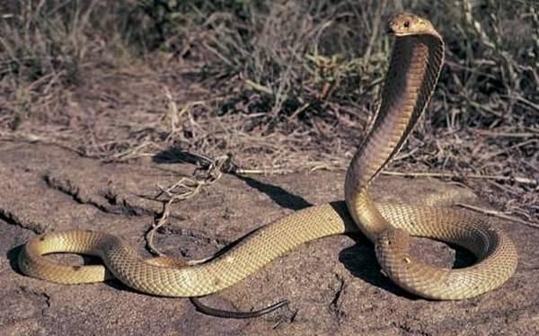 Philippine cobra deadliest snakes