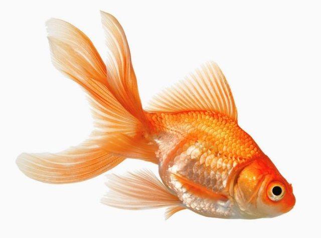 Goldfish Best Aquarium Fishes for Beginners