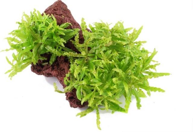 Pogostemon Helferi Best Aquarium Plants