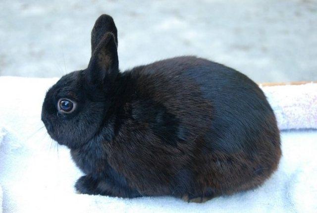 Britannia Petite Smallest Rabbit Breeds