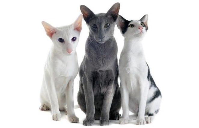 Oriental Shorthair Cat Breeds