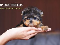 Teacup Dog Breeds - Miniature Dogs for Small and Tiny Spaces