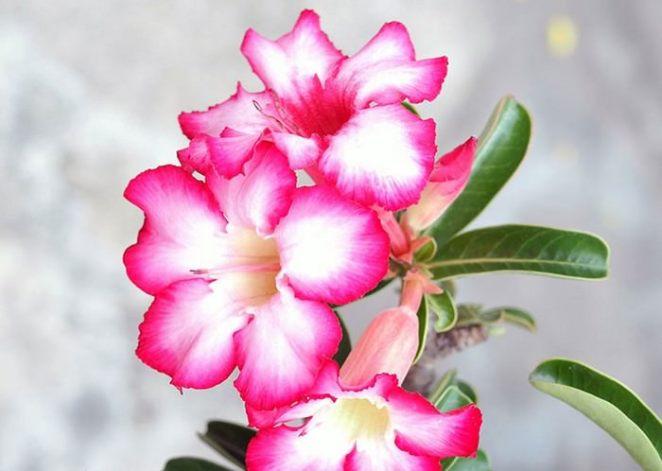 Desert Rose flowers that will kill you