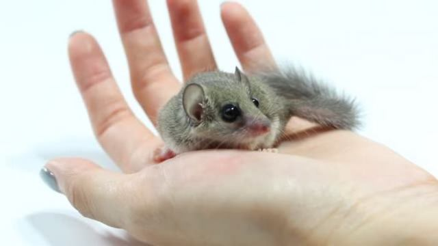 Rodents as Pets African Dormouse