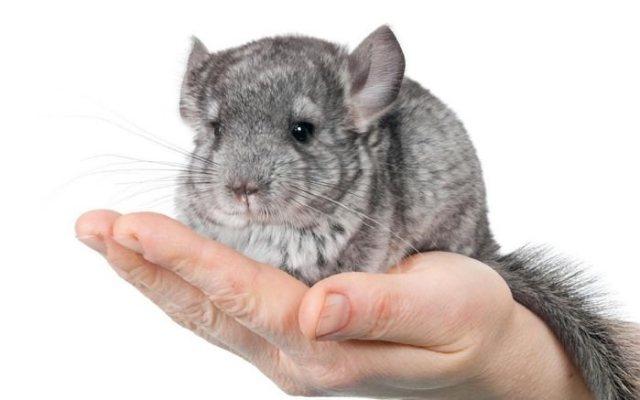 Chinchilla Rodents as Pets
