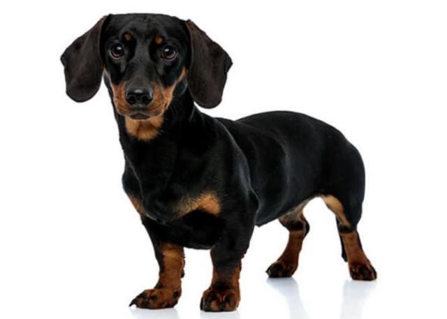 unique and rare dog breeds