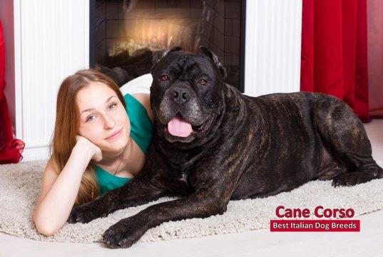 Cane Corso Best Italian Dog Breeds