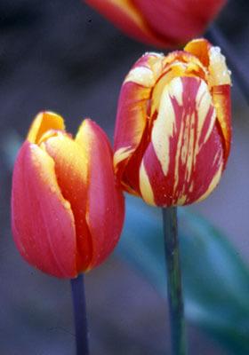 care_tulip-virus
