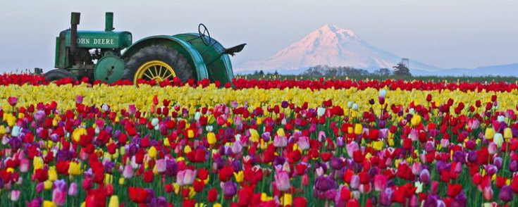 tulip fest gallery10 - Tulip Garden Near Me