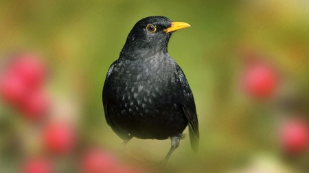Blackbird (Turdus Merula) - British Birds - Woodland Trust