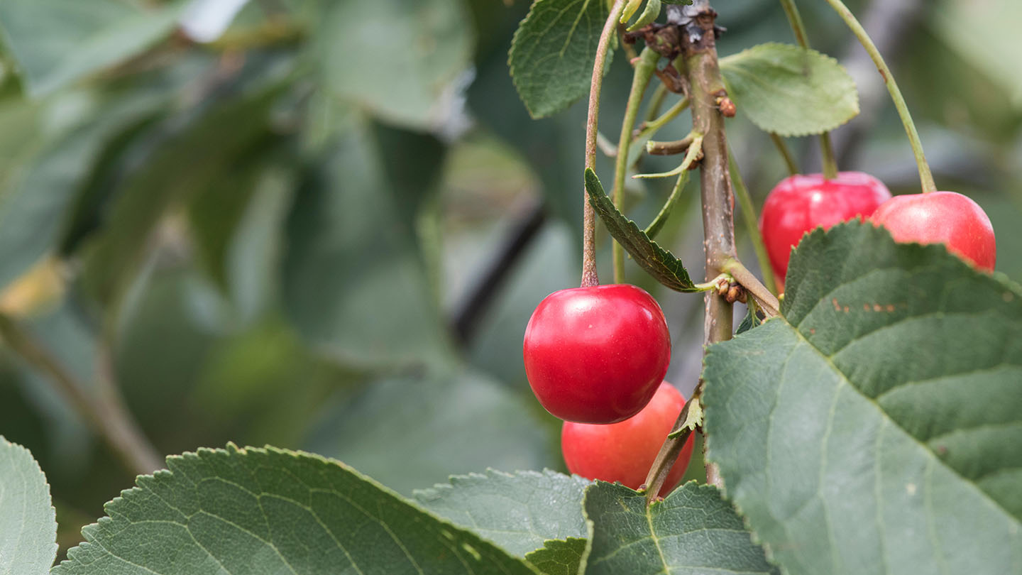 When To Prune Apple And Other Fruit Trees Woodland Trust