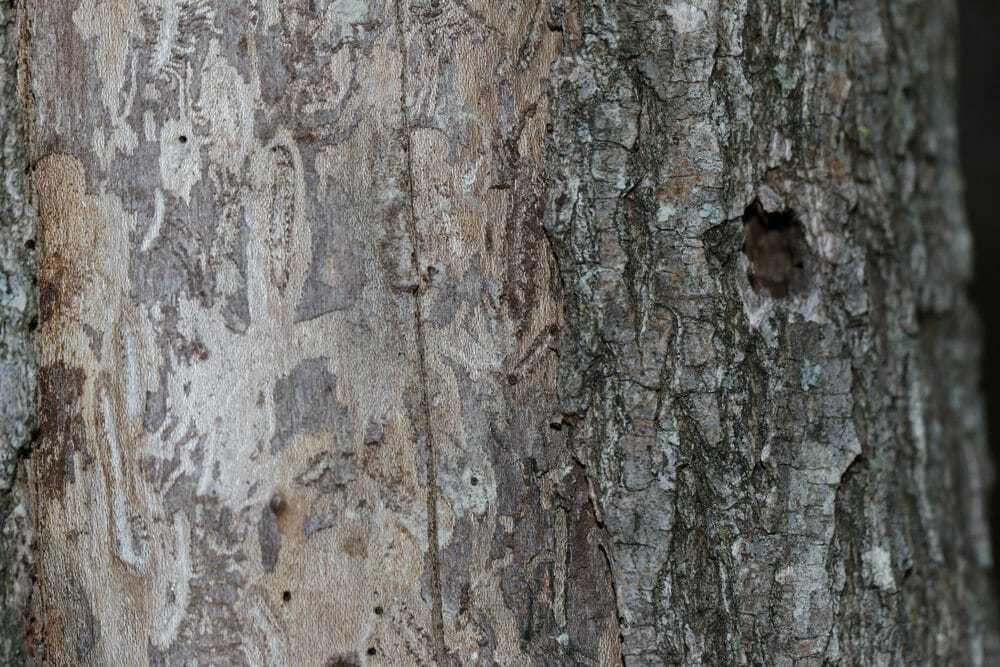Elm Firewood