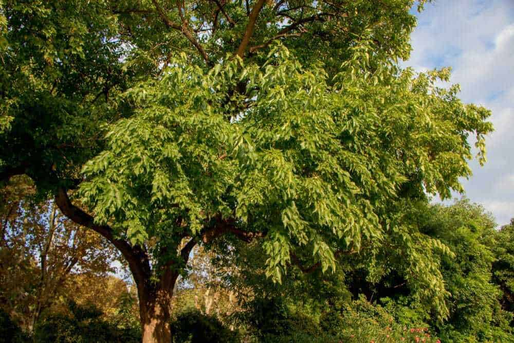 Osage Orange Firewood