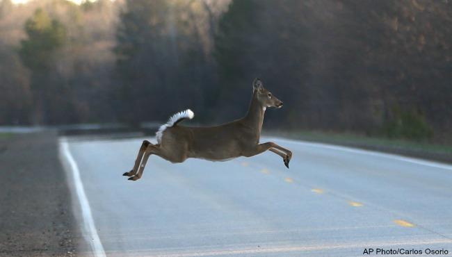 generic white tailed deer AP_98244
