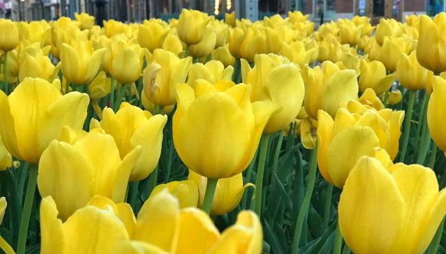 Tulip Time 050418_1525440102514.jpg.jpg