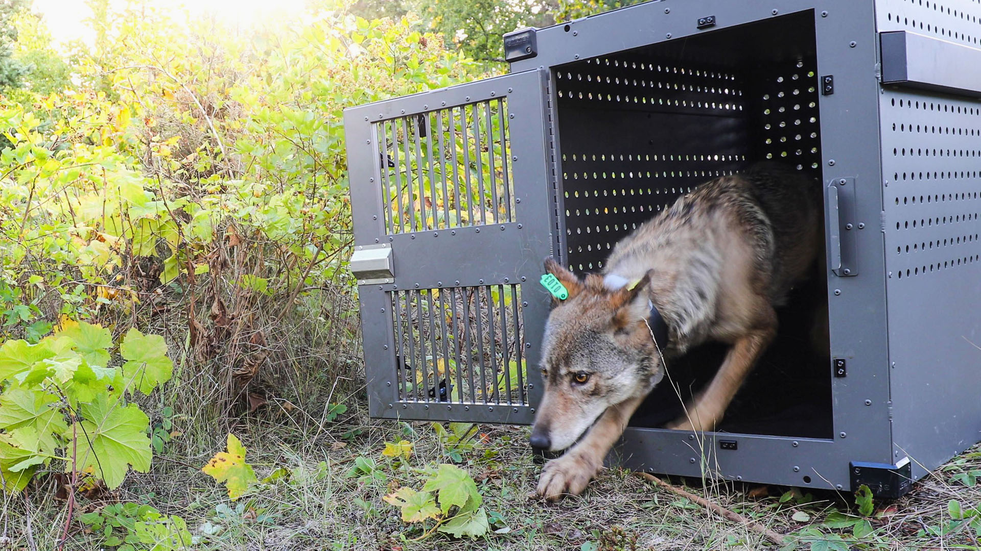 isle royale wolf relocation 092618 AP_1542157605553