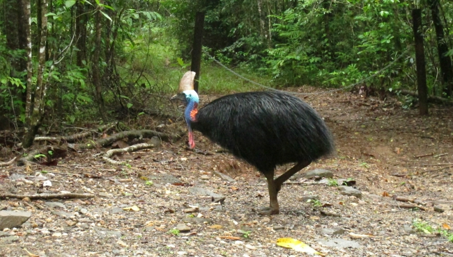 cassowary bird 04132019_1555208010434.jpg.jpg