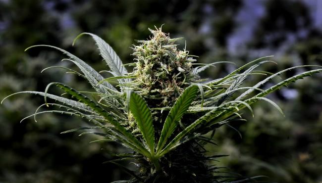 generic marijuana AP 2 053119_1559320090624.jpg.jpg