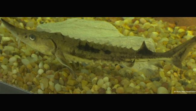 Sturgeon floating in fish tank