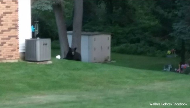 Black bear laying in grassy yard