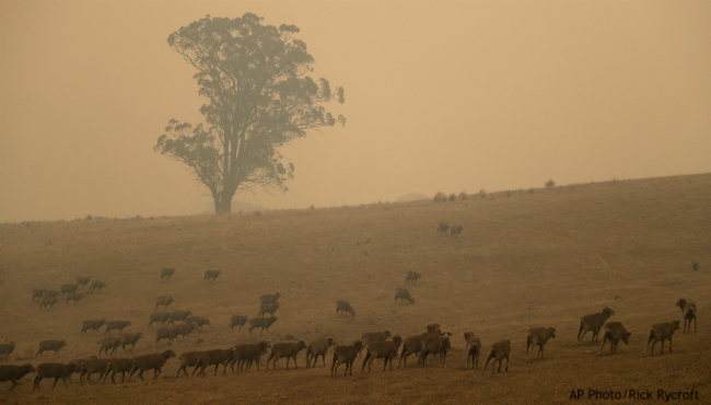 Sheep graze in a field shrouded with smoke haze near at Burragate, Australia, Saturday, Jan. 11, 2020. Wildfires continue to burn after warm dry weather hastened an early fire season in Australia. (AP Photo/Rick Rycroft)